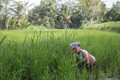 Elderly woman working in the rice fields Royalty Free Stock Image