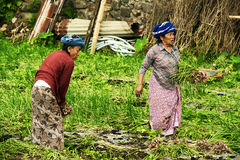 Elderly women picking green onians in Bali, Indonesia. Elderly women picking green onions in Bali, Indonesia. Women in Bali do all the hardest work, while men Royalty Free Stock Photo