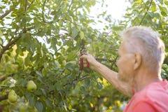 Eldery rijpe tuinman die in de scherpe bomen van de de zomertuin werken royalty-vrije stock foto's