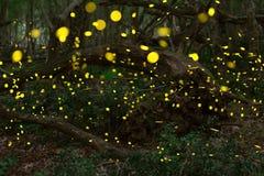 Eldflugor i sommaren på den felika skogen Royaltyfri Bild