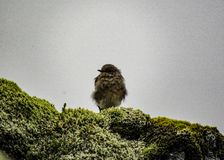 Small brown bird sitting on the rock covered with soft green Icelandic moss. royalty free stock photo