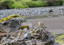 Small brown bird sitting on the rock covered with moss. stock photo