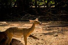 Elds deer Royalty Free Stock Images