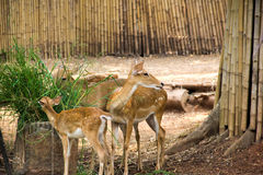 Elds deer Royalty Free Stock Photography