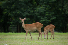 Elds Deers i zoo Arkivfoton