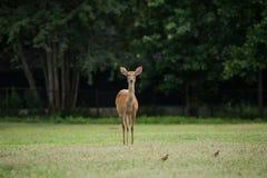 Elds Deers i zoo Arkivbilder