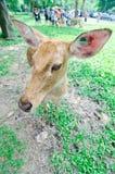 Elds hjortar i zoo Royaltyfri Foto