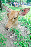 Elds Rotwild im Zoo Lizenzfreies Stockfoto