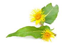 Elecampane Stock Photos