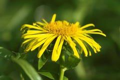 Elecampane flower Stock Image