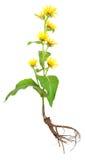 Elecampane (Inula helenium) Stock Photography
