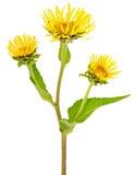 Elecampane (Inula helenium) flower Stock Photography