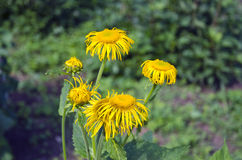 Elecampane (Inula helenium) medical plant in bloom Royalty Free Stock Image