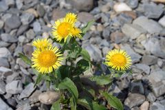 Elecampane (Inula helenium) in river gravels. Elecampane (Inula helenium) with yellow flowers  in river gravels Royalty Free Stock Image