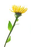Elecampane (Inula helenium) Royalty Free Stock Photos