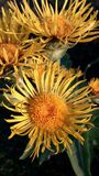 Elecampane Stock Photography