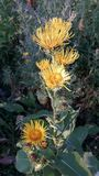 Elecampane. Yellow flowers medicative herb Royalty Free Stock Photo