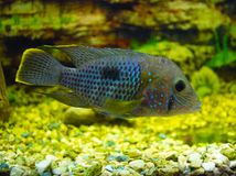Electric Blue Acara Cichlid Fish. Nannacara Neon Blue Stock Photography