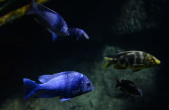 Electric blue cichlid Stock Photos