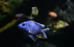 Electric blue cichlid Stock Photo