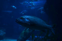 Electric blue cichlid Royalty Free Stock Photo