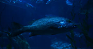 Electric blue cichlid Stock Photography