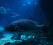 Electric blue cichlid Royalty Free Stock Photography