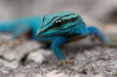 Electric blue daygecko. Lygodactylus williamsi is a small stunning diurnal gecko species, restricted to a small region in Kenya Royalty Free Stock Photography