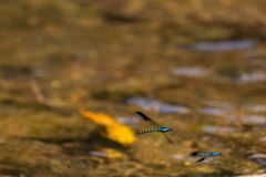 Electric blue flies Laos. Fluorescent electric blues flies flying over a river in Laos royalty free stock photos