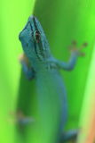 Electric blue gecko Royalty Free Stock Images