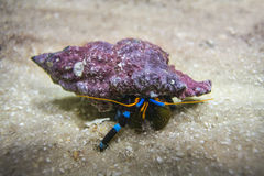 Electric Blue Hermit Crab Stock Photo