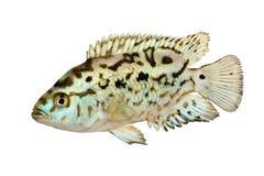 Electric blue jack dempsey cichlid Nandopsis Octofasciatum aquarium fish stock photos