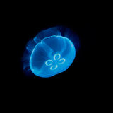 Electric blue jellyfish. On a black background Royalty Free Stock Photos