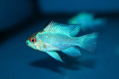Electric Blue Ram aquarium fish stock images