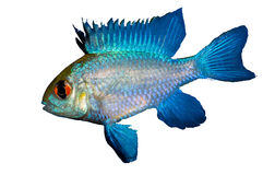 Electric Blue Ram Isolated. Mikrogeophagus ramirezi is prized for its winning personality despite its fierce appearance. With its spiked dorsal fin, low-slung stock photo