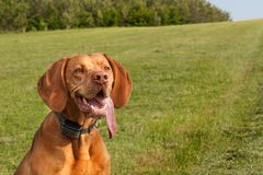 Electric collar for dog. Hunting dog training. Hungarian pointer. `Vizsla Royalty Free Stock Images