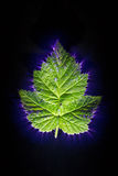 Electric current passed through a violet leaf. Kirlian effect of electric current passed through a leaf royalty free stock photography