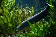Electric eel Electrophorus electricus. Stock Photos