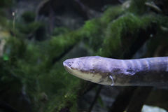 The Electric eel Electrophorus electricus Royalty Free Stock Photo