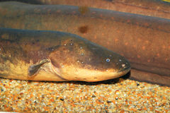 Electric eel Stock Photo