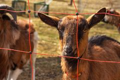 Electric fence for livestock farming. Shepherd grazing for sheep and goats. Stock Photo