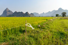 Electric fence in rice field Royalty Free Stock Image