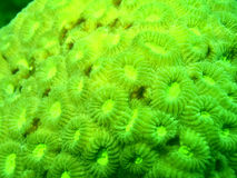 Electric Green. Green tone of a hard coral detail for abstract work Royalty Free Stock Photos