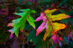 Electric Oak leaves Stock Photography