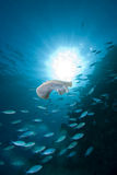 Electric ray Royalty Free Stock Photography