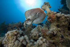 Electric ray Stock Photos