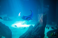 Electric ray fish in aquarium. Cramp-fish in blue water. Ocean under world. Stock Photography