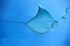 Electric ray fish in ocean Royalty Free Stock Images
