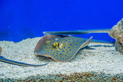 Electric ray floats on the sea bottom Stock Image