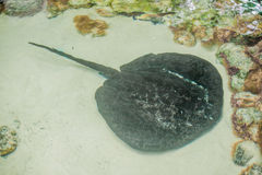 Electric ray floats on the sea bottom Royalty Free Stock Photography